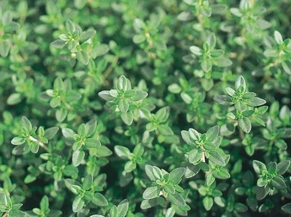 Plant de thym citronné