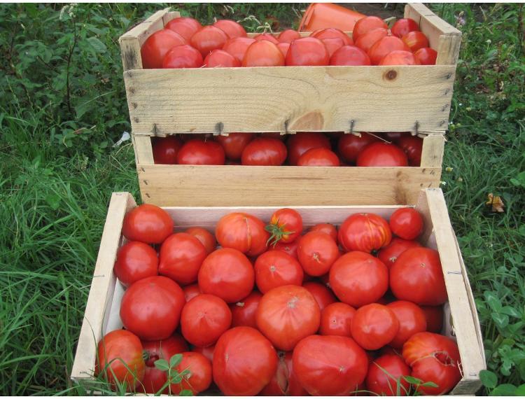 3 kg tomates Jardins de Jurlhes