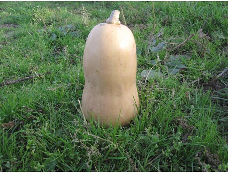 Butternut (0,8kg - 1kg ) des Jardins de Jurlhes