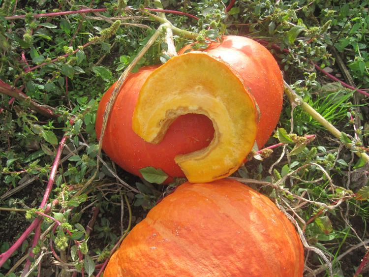 potiron (morceau de 1 kg) des Jardins de Jurlhes