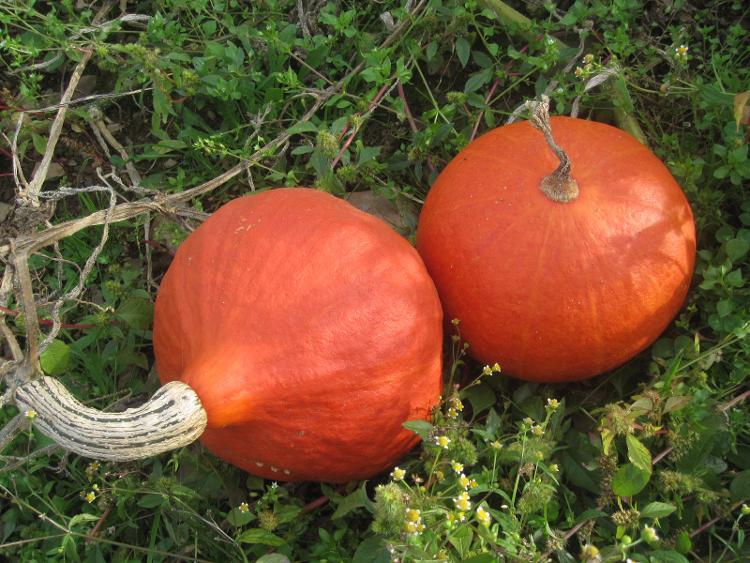 Potimarron (0.5kg-0.9 kg )des Jardins de Jurlhes