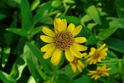 Plant d'Arnica des plaines