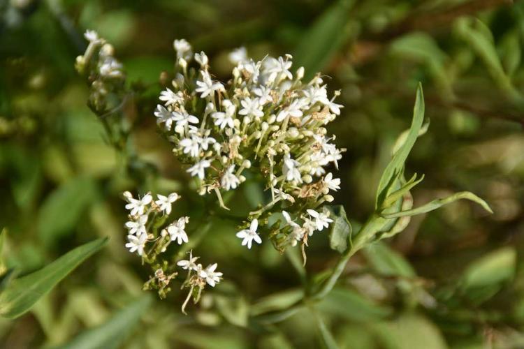 Plant de Centranthe (Fausse Valériane)