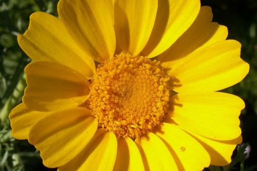 Semences de Chrysanthème comestible