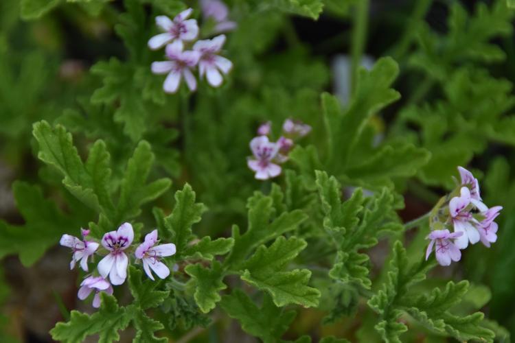 Plant de Géranium rosat