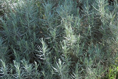Plant d'Hélichryse
