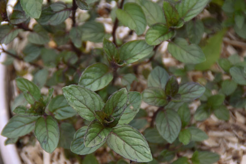 Plant de Menthe chocolat