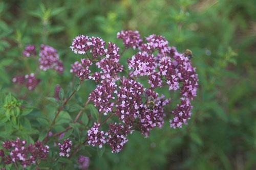 Plant d'Origan vulgaire