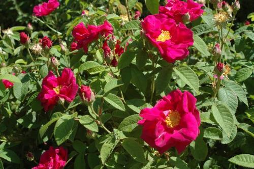 Plant de Rosier de Provins