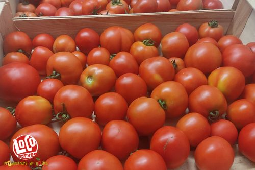 Tomates rondes rouges F1
