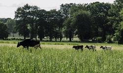 Vaches nourrices