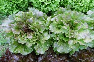 Salade batavia verte ou rouge / Green or red batavia lettuce