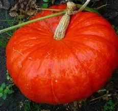 Courge Rouge vif d'Estampe / Red squash
