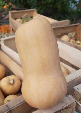 Courge butternut 1.1-1.3 kg