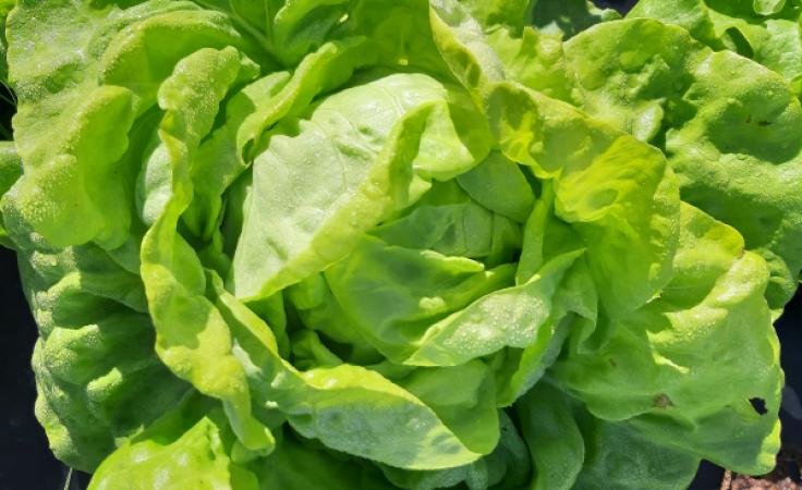 Salade laitue pommée verte