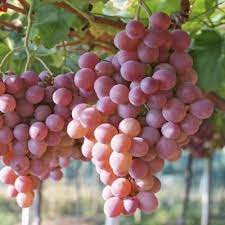"""Raisin rouge Bio """"Italia Rubi"""""""