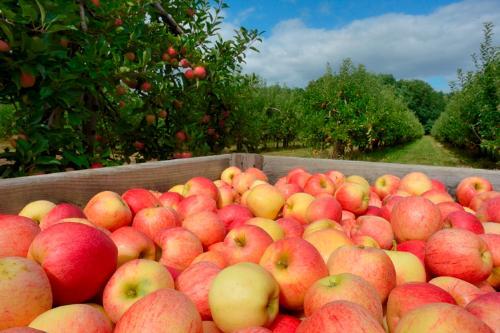 Pommes - Royal Gala    - calibre 136-200 - 5k