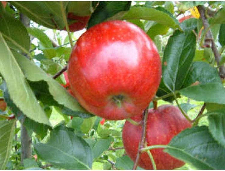 pomme GALA - Courtois - 3 kg