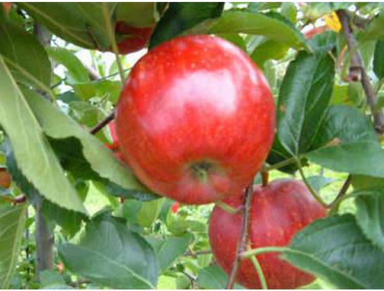 pomme GALA - Courtois - 1 kg