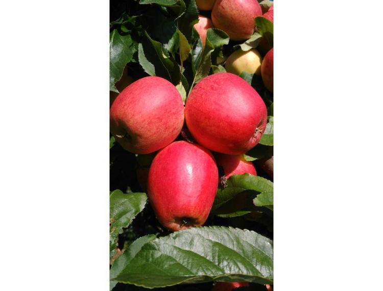 Pomme PINOVA BIO en 1 kg, certifiée par écocert, Florence et Lionel THIRY
