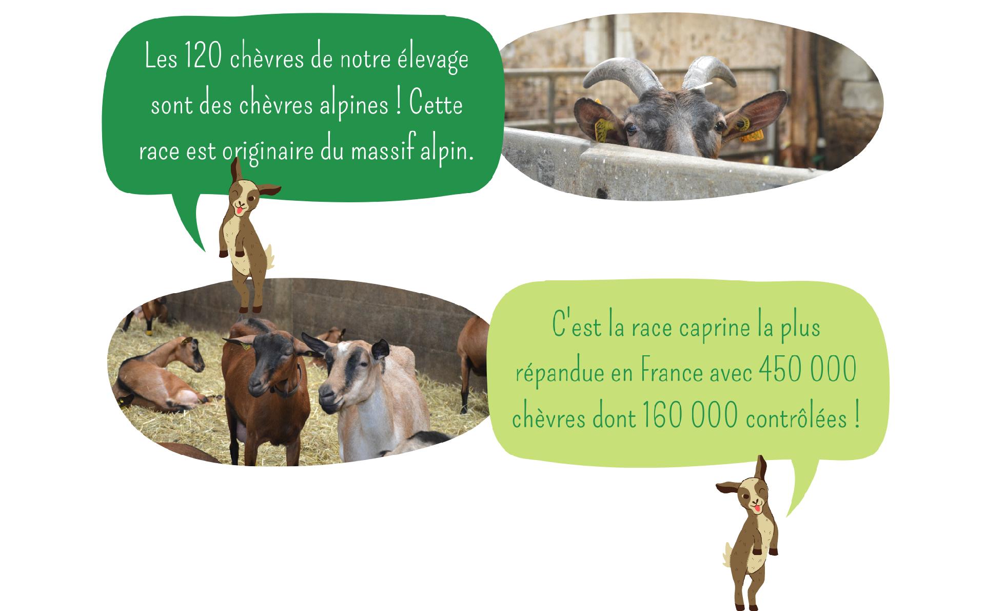 L'élevage et les chèvres Ferme Anjou Biquettes 1