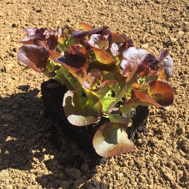 Plant de Salade FEUILLE DE CHENE ROUGE PAR 6 MOTTES