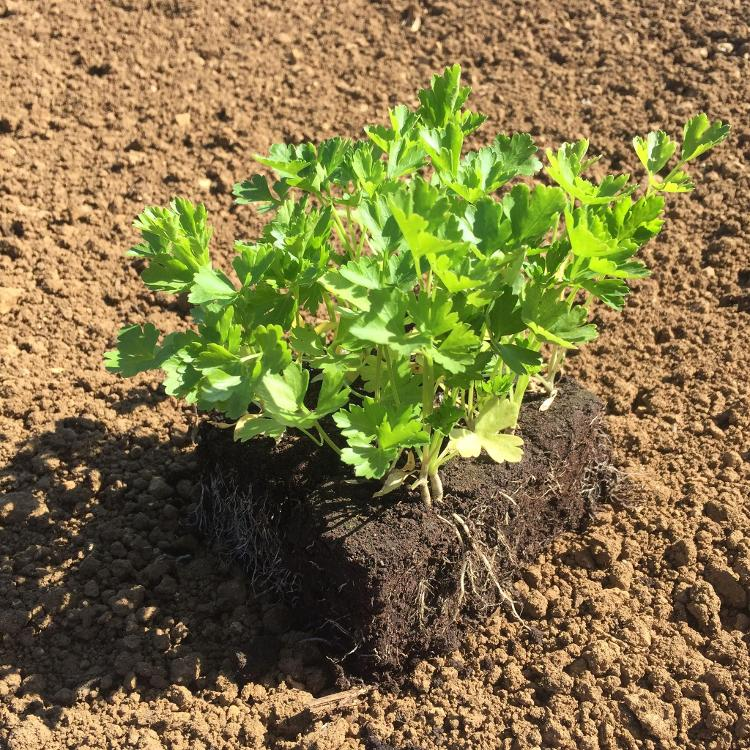 Plant de Persil PLAT PAR 6 MOTTES