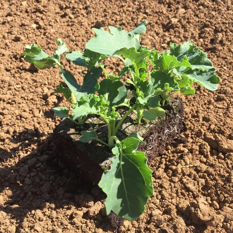 Plant de Choux KALE PAR 6 MOTTES
