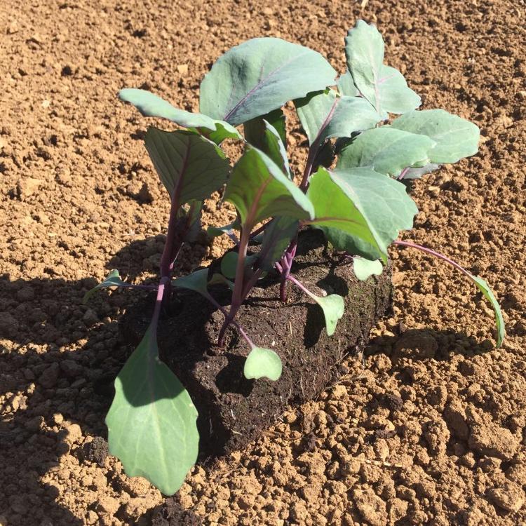 Plant de Choux ROUGE PAR 6 MOTTES