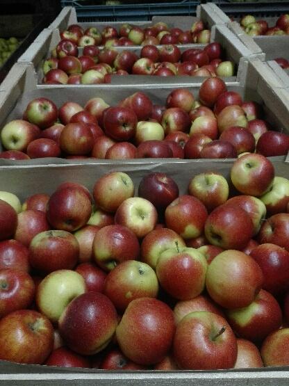 Pommes à cuire