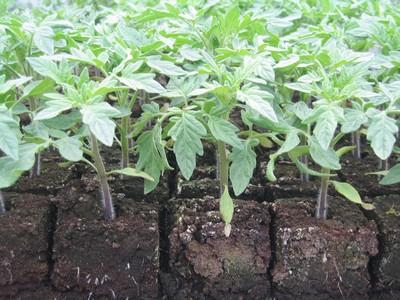 Plant de Tomates COEUR DE BOEUF