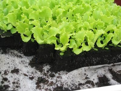 Plant de Salade BATAVIA VERTE PAR 6 MOTTES
