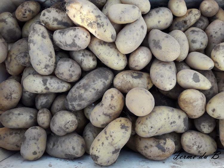 """Pomme de terre de consommation """"ALLIANS"""" Chair FERME  COLIS 5 KG"""