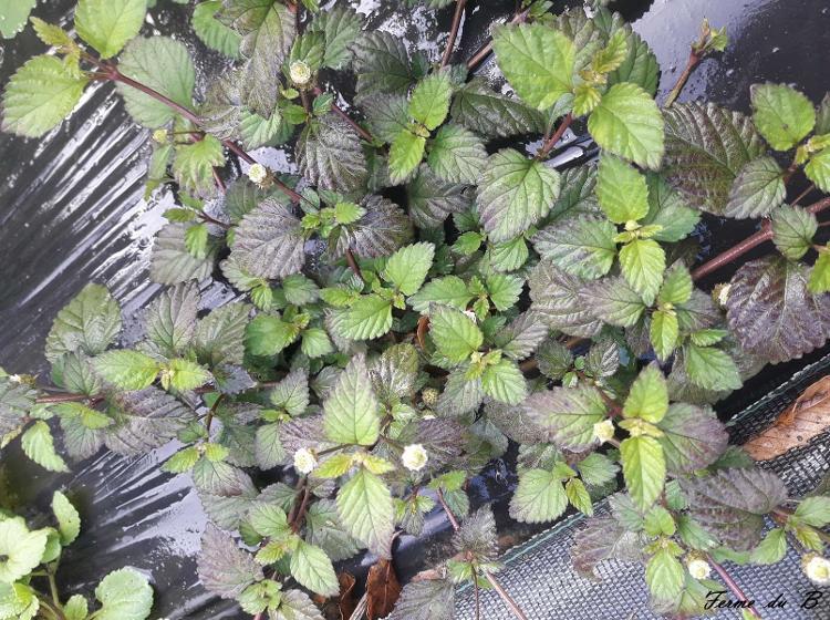 Lippia dulcis (verveine sucrante les feuilles très sucrées sont récoltées pour servir d'édulcorant naturel. Cependant, au goût sucré se mêle une saveur camphrée particulière, mais qui peut être appréciée dans une pâtisserie ou en infusion.)