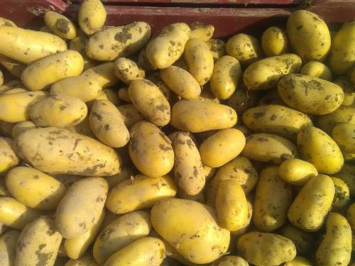Pomme de terre Charlotteà chair ferme sac de 5 kg Promo