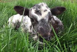 Naissance et mise à l'herbe