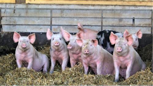 Colis de porc - 10 KG