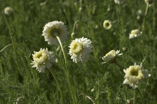 Plant de Camomille romaine