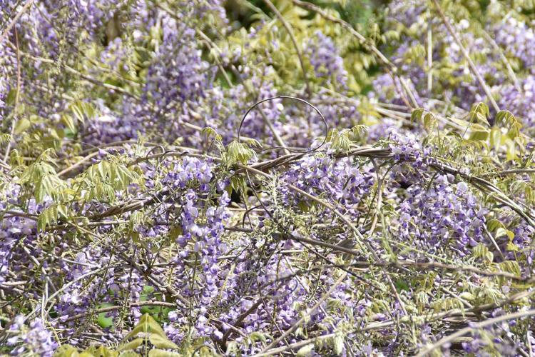 Plant de Glycine du Japon