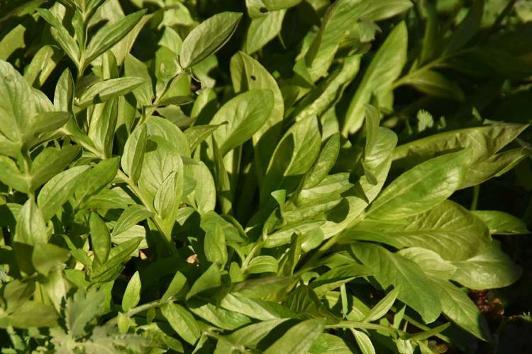 Plant de Valériane phu
