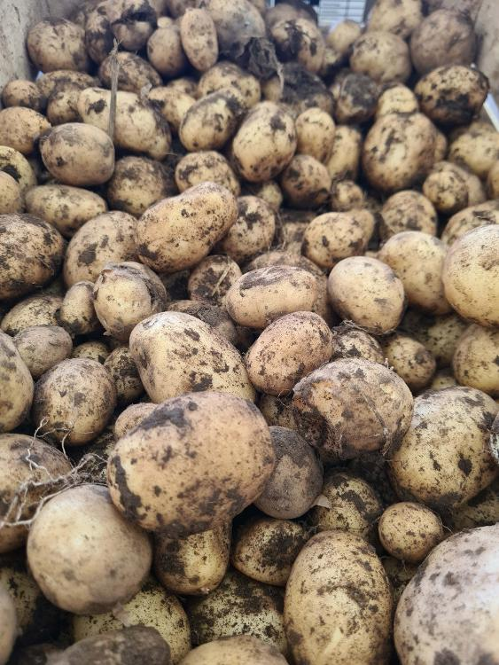 pommes de terre BINJE