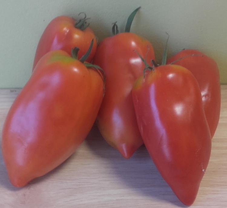 tomate cornue des andes ( cornabel )