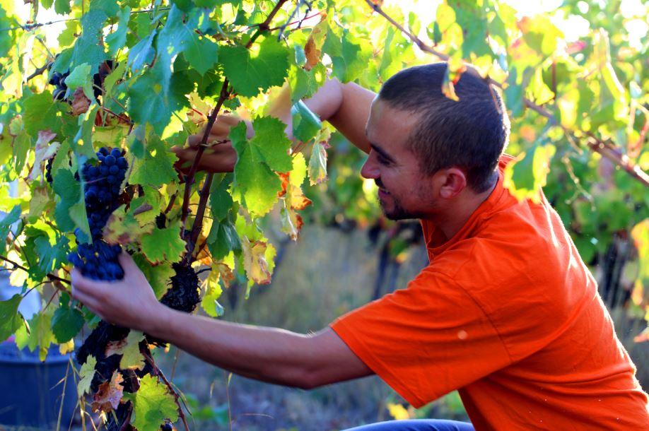 Portrait d'Olivier Moreau, viticulteur à Cournonsec