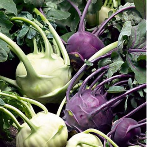 CHOU RAVES vert ou violet
