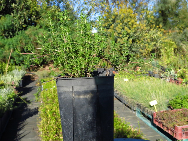 Thym à feuilles de sarriette