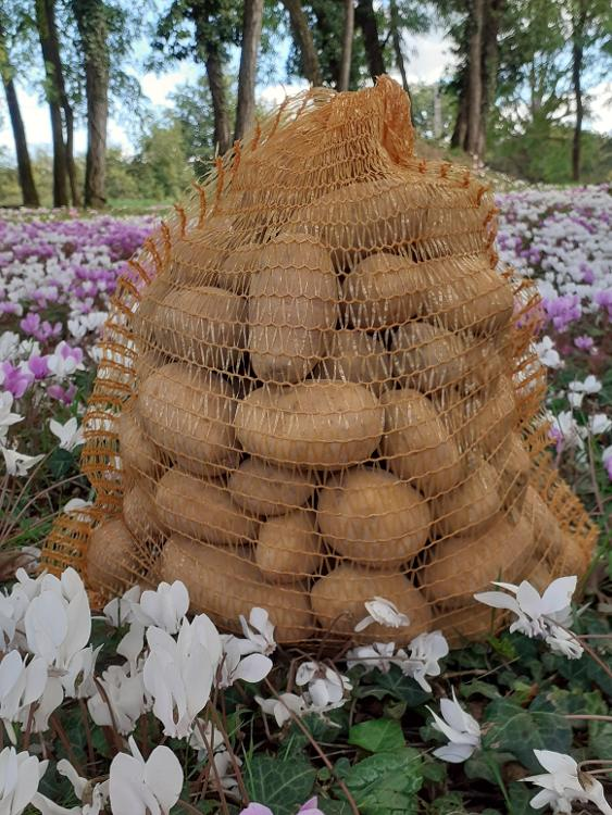 Pommes de terre Rosabelle pour purées potages frites