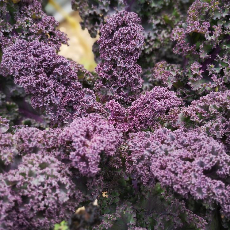 Chou kale vert ou violet AB   1 botte   LES JARDINS DE BRENNE