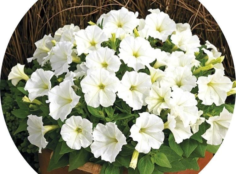 Fleur PETUNIA Boule en pot de 13 cm Blanc