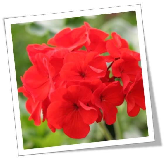 Fleur GERANIUM Zonale en pot de 13 cm Rouge