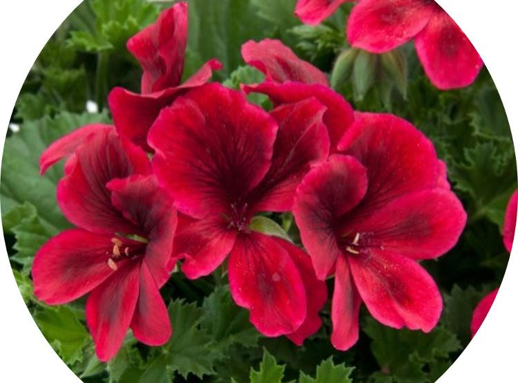 Fleur PELARGONIUM en Pot de 13 cm Rouge